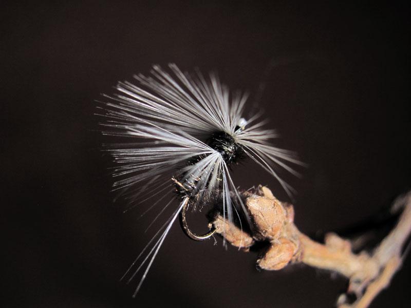 Mosca de León saltona hormiga Indio #7